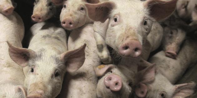 des-cochons-dans-une-ferme-pres-de-bruxelles-en-octobre-2012