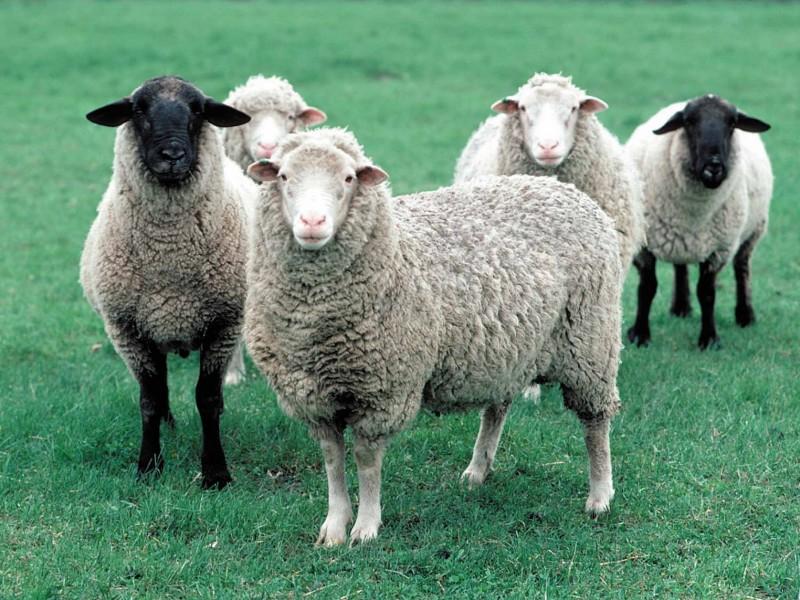 Doit on nourrir les brebis, ou amuser les chèvres ??
